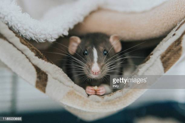 close-up portrait of a rat in a blanket - domestic animals stock pictures, royalty-free photos & images