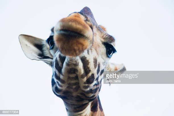 A close-up portrait of a Rothschild giraffe face from below
