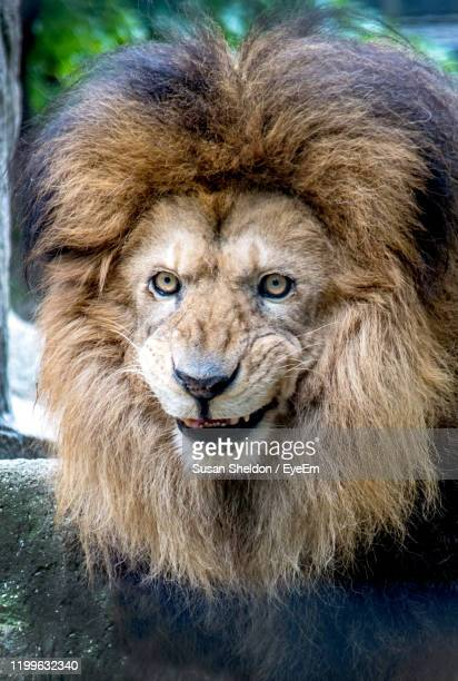 close-up portrait of a  smiling lion - animal teeth stock pictures, royalty-free photos & images