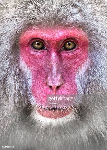 Close-up portrait of a snow monkey, Nagano, Honshu, Japan