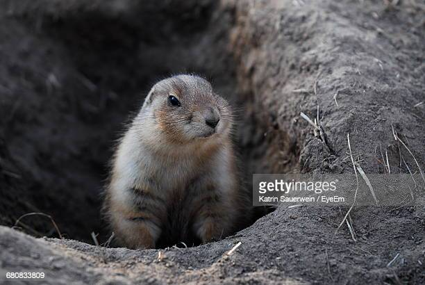 close-up portrait of a squirrel - woodchuck stock pictures, royalty-free photos & images