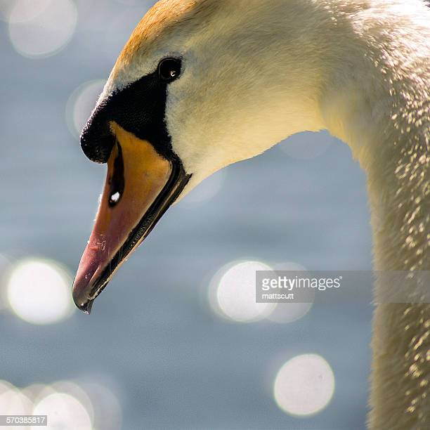 Close-up portrait of a swan