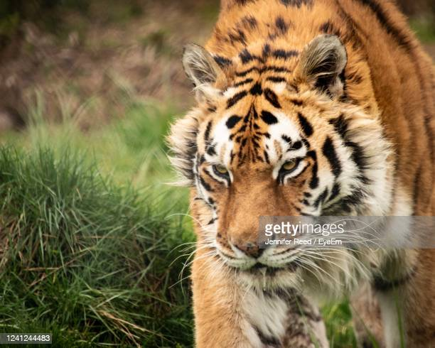 close-up portrait of a tiger - jennifer reed stock pictures, royalty-free photos & images