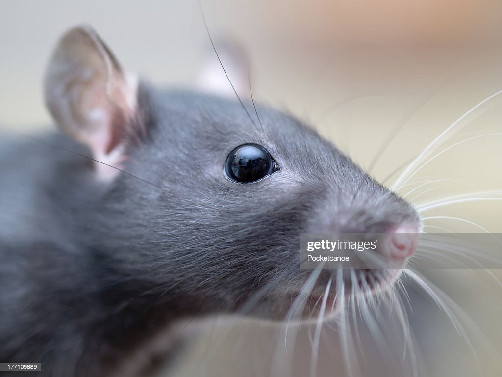 Closeup portrait of a young female rat. : Stock Photo
