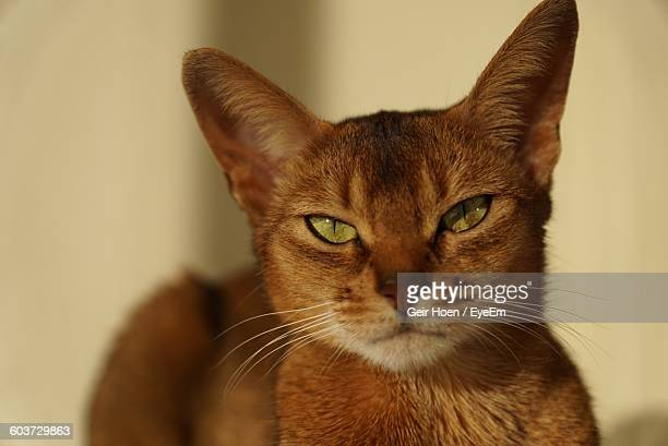 Close-Up Portrait Of Abyssinian Cat At Home
