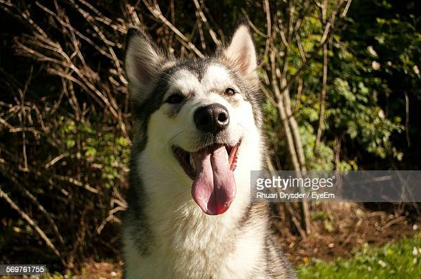 close-up portrait of alaskan malamute on field - malamute stock pictures, royalty-free photos & images