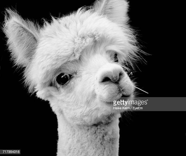 close-up portrait of alpaca against black background - lama stock pictures, royalty-free photos & images
