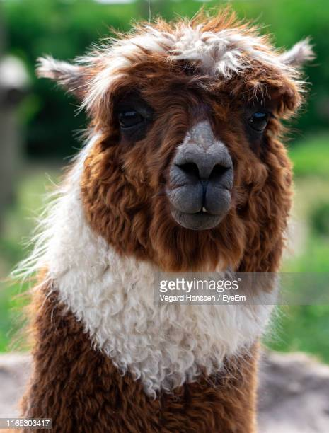 Close-Up Portrait Of Alpaca