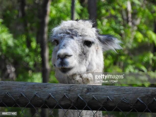 close-up portrait of alpaca - ワガワガ ストックフォトと画像