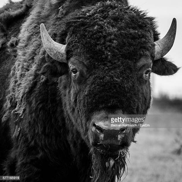 Close-Up Portrait Of American Bison On Field
