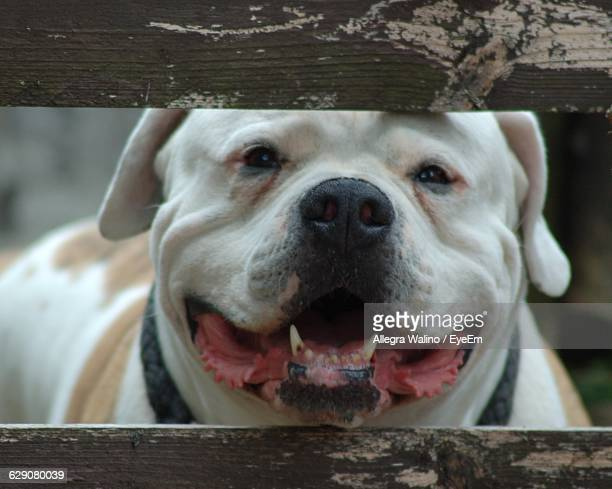 close-up portrait of american bulldog behind fence - american bulldog stock photos and pictures