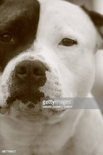 close-up portrait of american bulldog - american bulldog stock photos and pictures