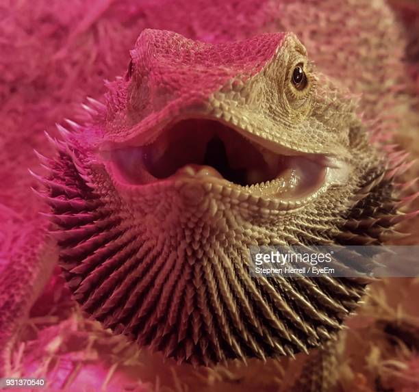 Close-Up Portrait Of Angry Bearded Dragon Outdoors