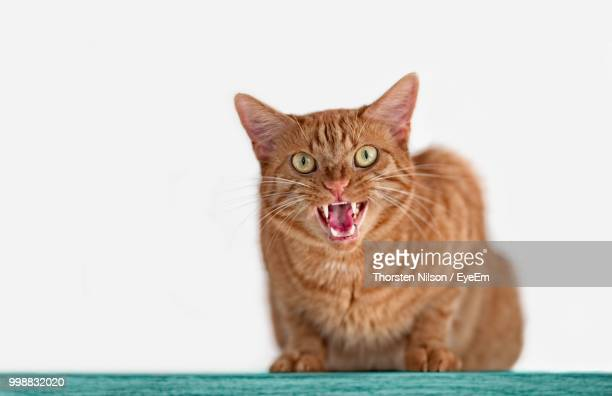 Close-Up Portrait Of Angry Cat On Table Against White Background