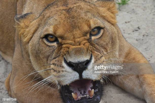Close-Up Portrait Of Angry Female Lion Roaring On Field