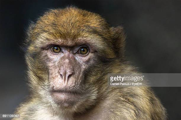 Close-Up Portrait Of Barbary Macaque