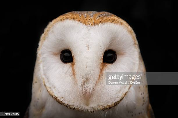 close-up portrait of barn owl against black background - barn owl stock pictures, royalty-free photos & images
