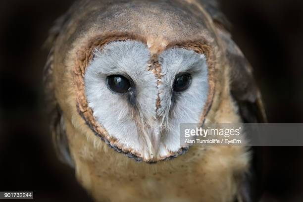 close-up portrait of barn owl - barn owl stock photos and pictures