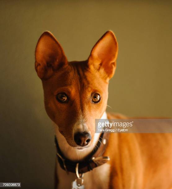 Close-Up Portrait Of Basenji Standing Against Wall At Home