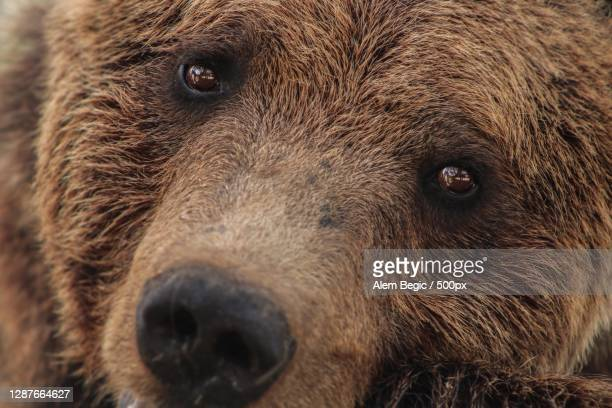 close-up portrait of bear - animal head stock pictures, royalty-free photos & images