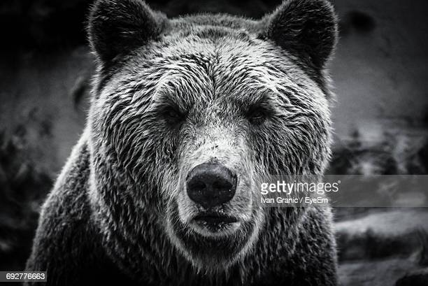 close-up portrait of bear - grizzly bear stock photos and pictures