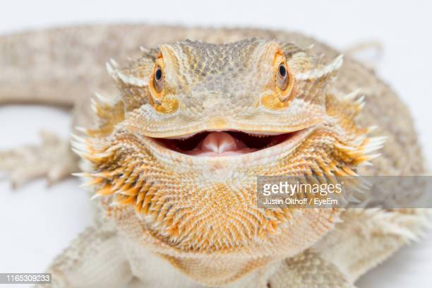 close-up portrait of bearded dragon - bearded dragon stock pictures, royalty-free photos & images