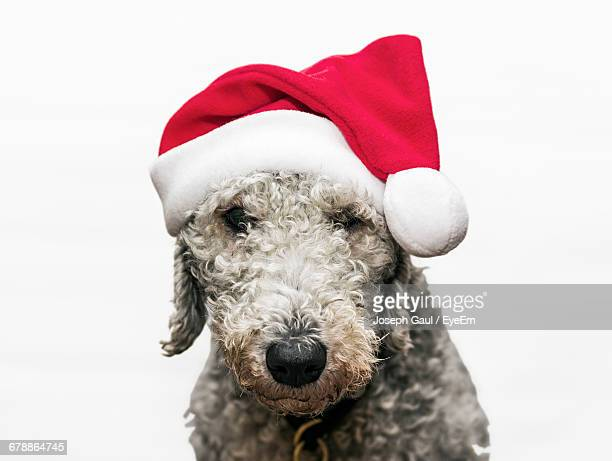 Close-Up Portrait Of Bedlington Terrier Wearing Santa Hat Against White Background
