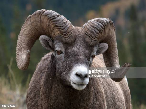 close-up portrait of bighorn ram looking at viewer. - ram animal stock photos and pictures