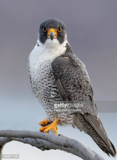 close-up portrait of bird perching on branch - peregrine falcon stock pictures, royalty-free photos & images