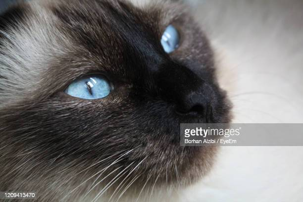 close-up portrait of black cat - black siamese cat stock pictures, royalty-free photos & images