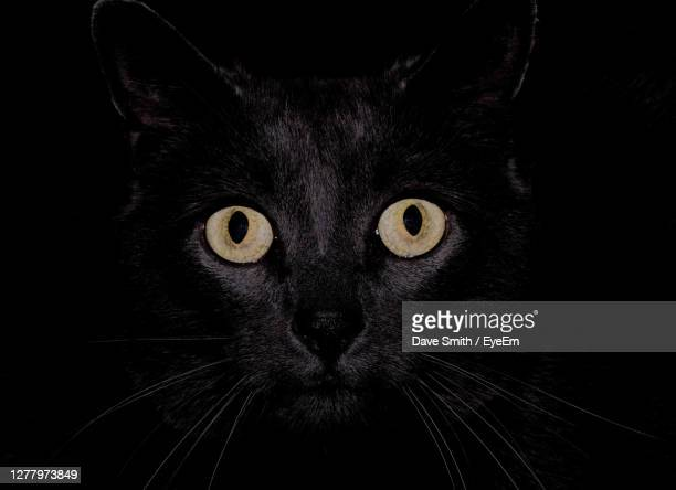 close-up portrait of black cat - animal head stock pictures, royalty-free photos & images