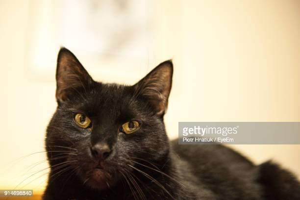 close-up portrait of black cat - piotr hnatiuk photos et images de collection
