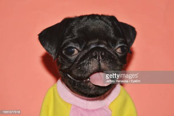 close-up portrait of black dog against wall - pet clothing stock pictures, royalty-free photos & images