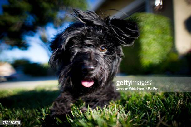 Close-Up Portrait Of Black Dog On Grassy Field