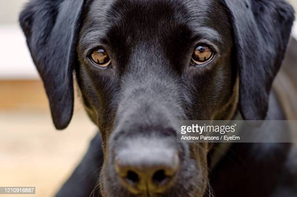 close-up portrait of black dog - black labrador stock pictures, royalty-free photos & images