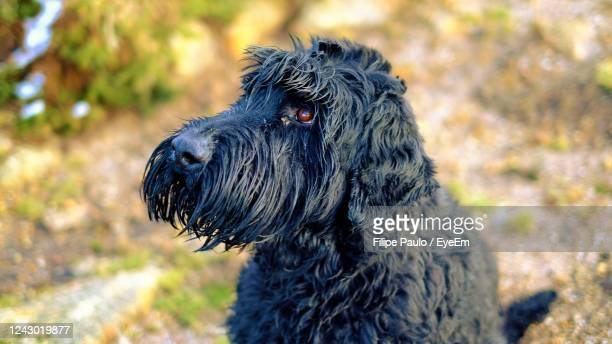 close-up portrait of black giant schnauzer dog - schnauzer stock pictures, royalty-free photos & images
