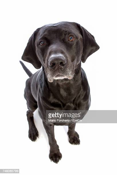 close-up portrait of black labrador sitting on white background - labrador preto imagens e fotografias de stock
