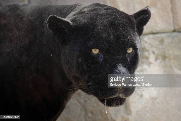 close-up portrait of black leopard - black panther face stock photos and pictures