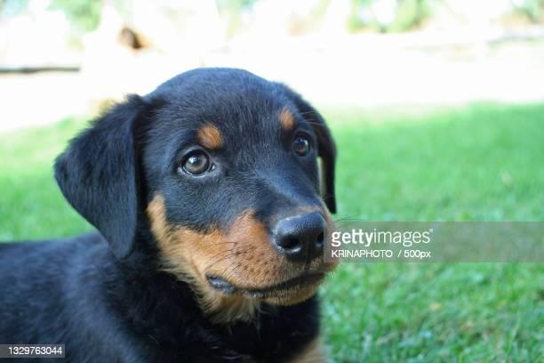 close-up portrait of black rottweiler,italy - pastore maremmano foto e immagini stock