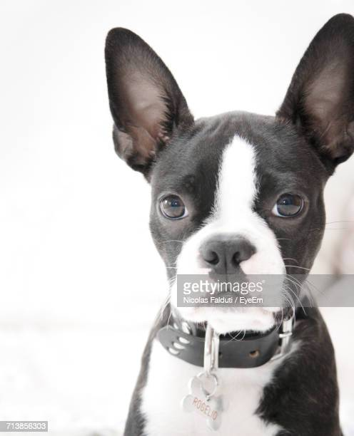 Close-Up Portrait Of Boston Terrier Puppy Against White Background
