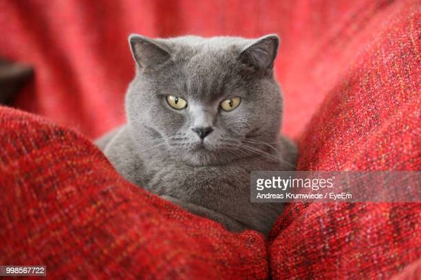 Close-Up Portrait Of British Shorthair Relaxing On Red Sofa