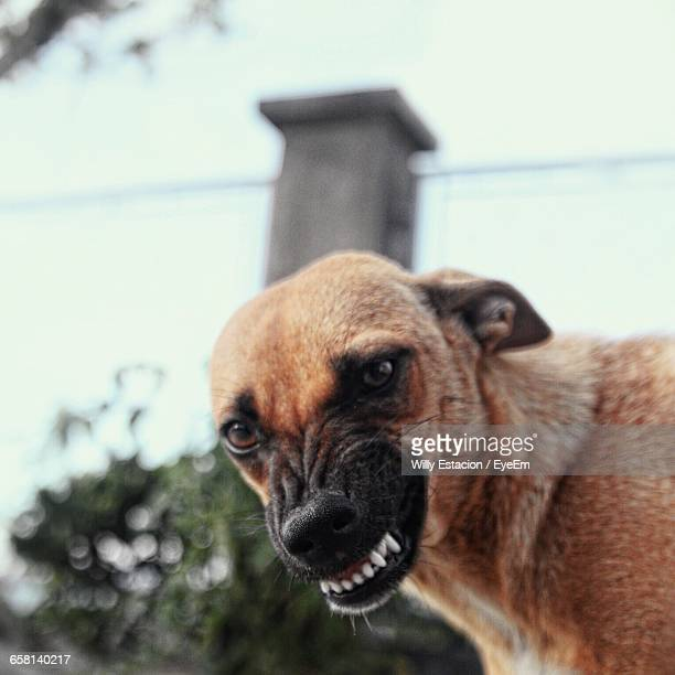close-up portrait of brown dog snarling - aggression stock photos and pictures