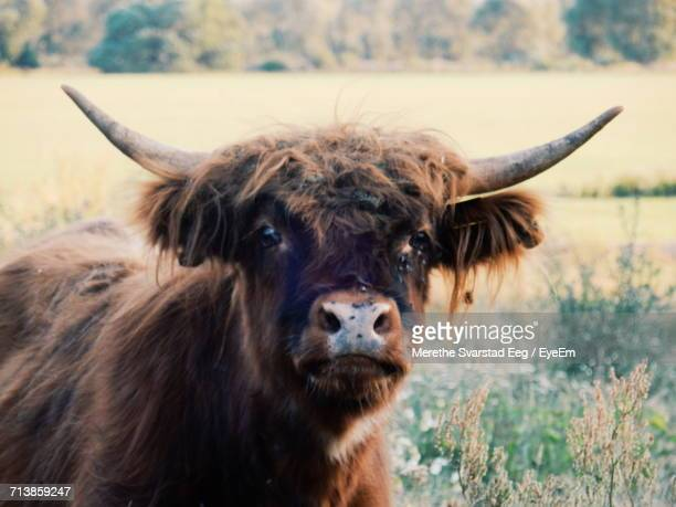 Close-Up Portrait Of Bull On Grassy Field