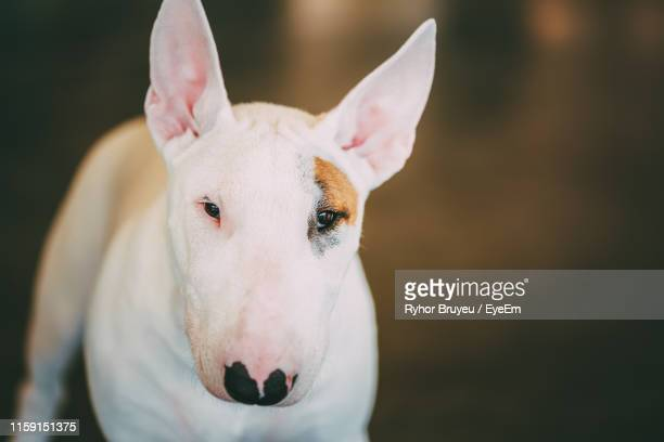 close-up portrait of bull terrier - bull terrier stock pictures, royalty-free photos & images
