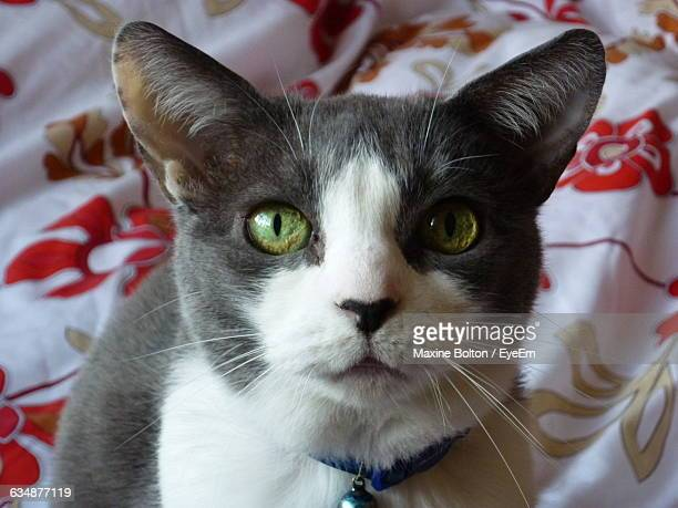close-up portrait of burmese cat relaxing on bed at home - burmese cat stock pictures, royalty-free photos & images