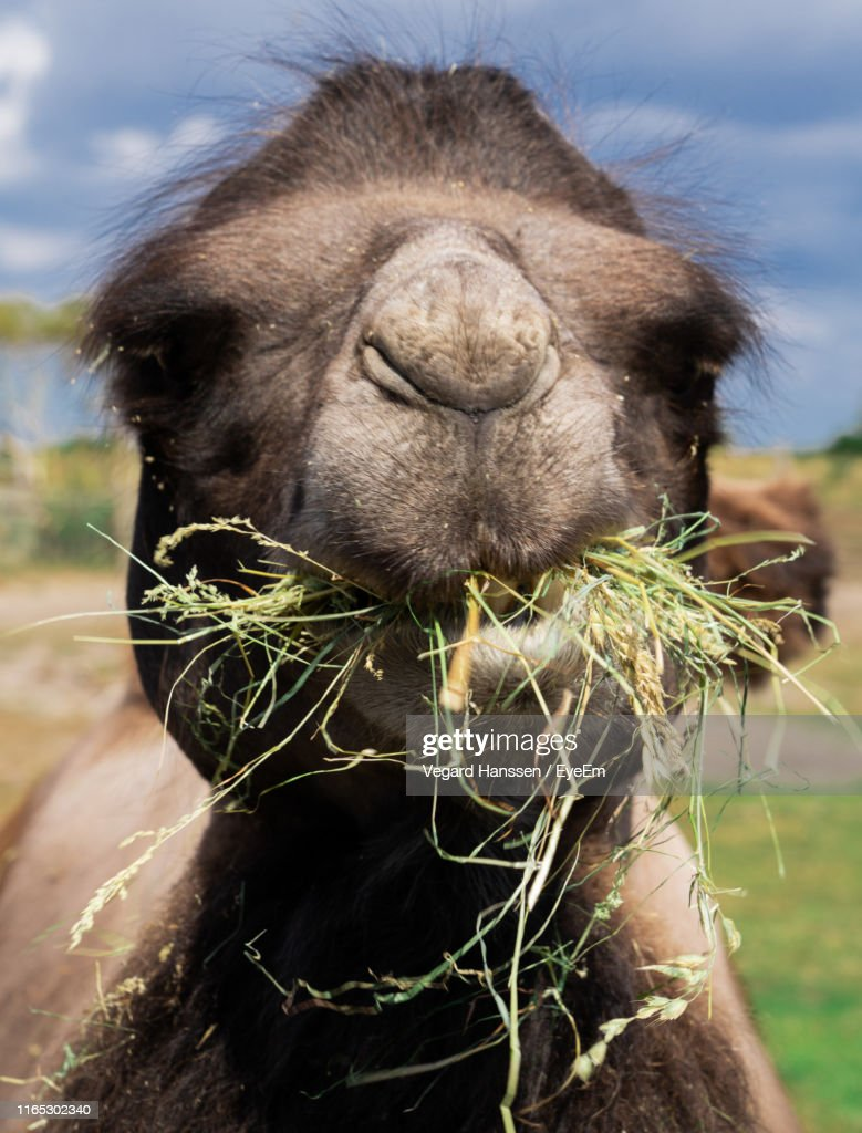 Close-Up Portrait Of Camel Eating Grass : Stock Photo