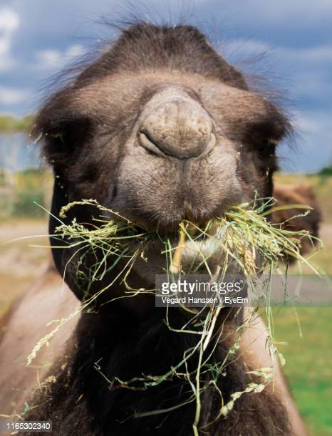 Close-Up Portrait Of Camel Eating Grass