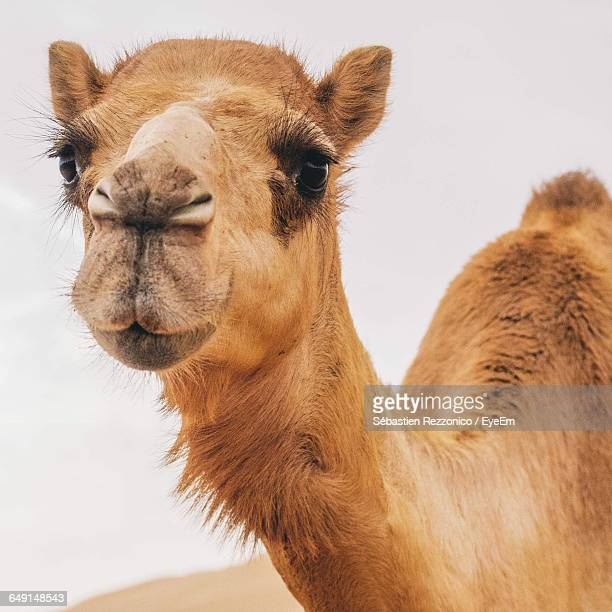Close-Up Portrait Of Camel