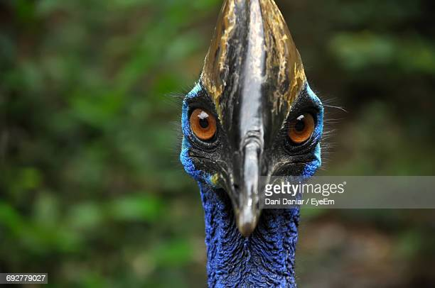 Close-Up Portrait Of Cassowary In Forest