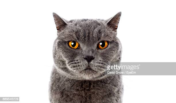close-up portrait of cat against white background - gato fotografías e imágenes de stock